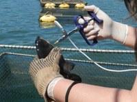 O estudo visa diminuir o número de mortes de peixes em tanques de produção e evitar o uso de antibióticos